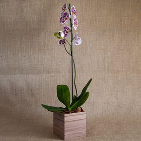 Orquídea Mesclada
