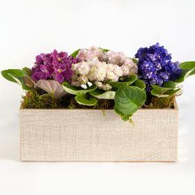 Trio de violetas