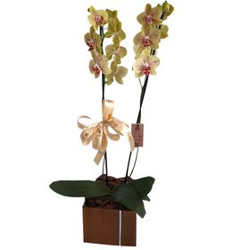 Orquídea 2 hastes Amarela