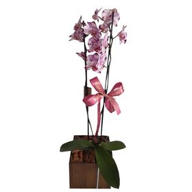 Orquídea Duas Hastes