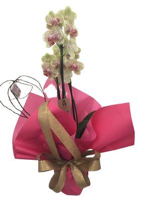Orquídea Decorada.