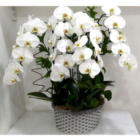 4 Orquídea Branca Cascata