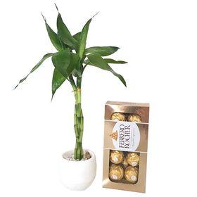 Bambu da Sorte Pequeno e Chocolate