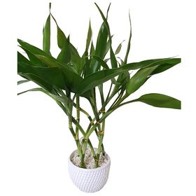 Bambu da Sorte Redondo Branco