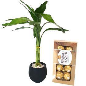 Bambu da Sorte Vaso Preto e Chocolate