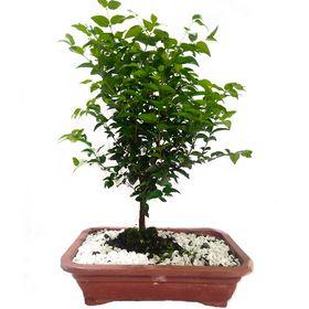 thumb-bonsai-de-jabuticaba-0