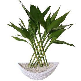 Bambu da Sorte Barca Branca