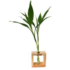 """Bambu da Sorte """"Paz"""""""