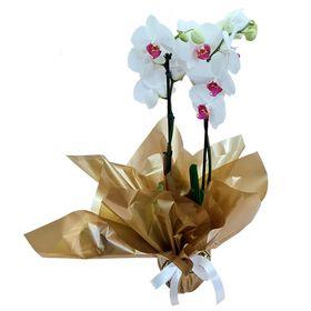 Orquídea 2 Hastes Branca