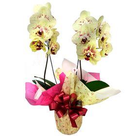 Orquídea Amarela com Lilás