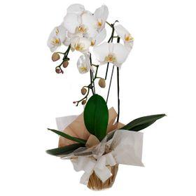 Orquídea com 2 hastes branca