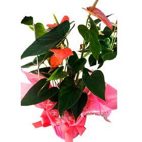 Antúrio planta