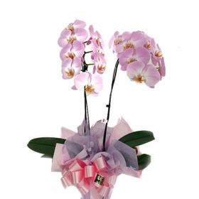 Orquídea com duas hastes lilas em vaso