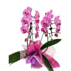 Orquídea com duas hastes roxa