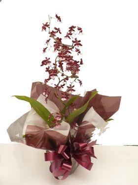 thumb-orquidea-bailarina-oncidium-sharry-baby-cheiro-de-chocolate-0