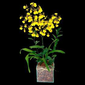 Orquídea Chuva de Ouro no Vidro
