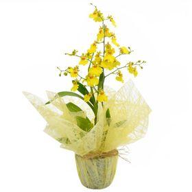 Vaso de Orquídea Chuva de Ouro para Presente