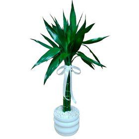 Bambu da Sorte 06 hastes 70cm